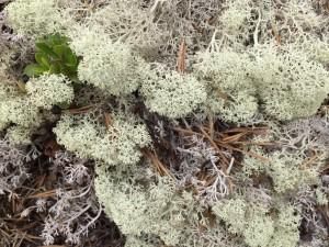 Norway mountain plants