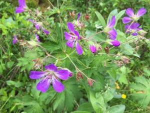Skabu purple flowers on site